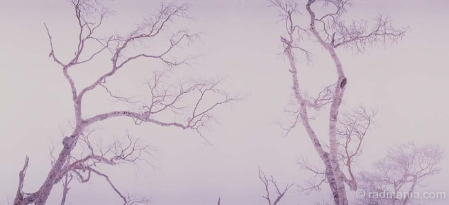 Niseko trees during a blizzard.